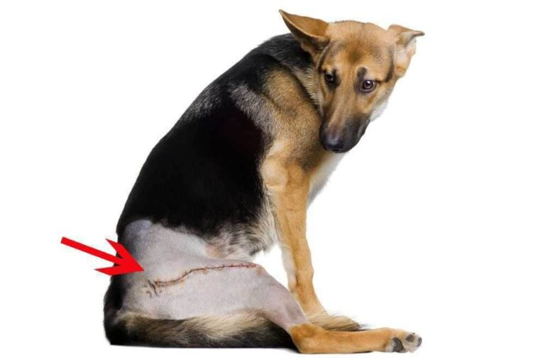 Is Hip Dysplasia A Reason To Put A Dog Down? When To and When Not To