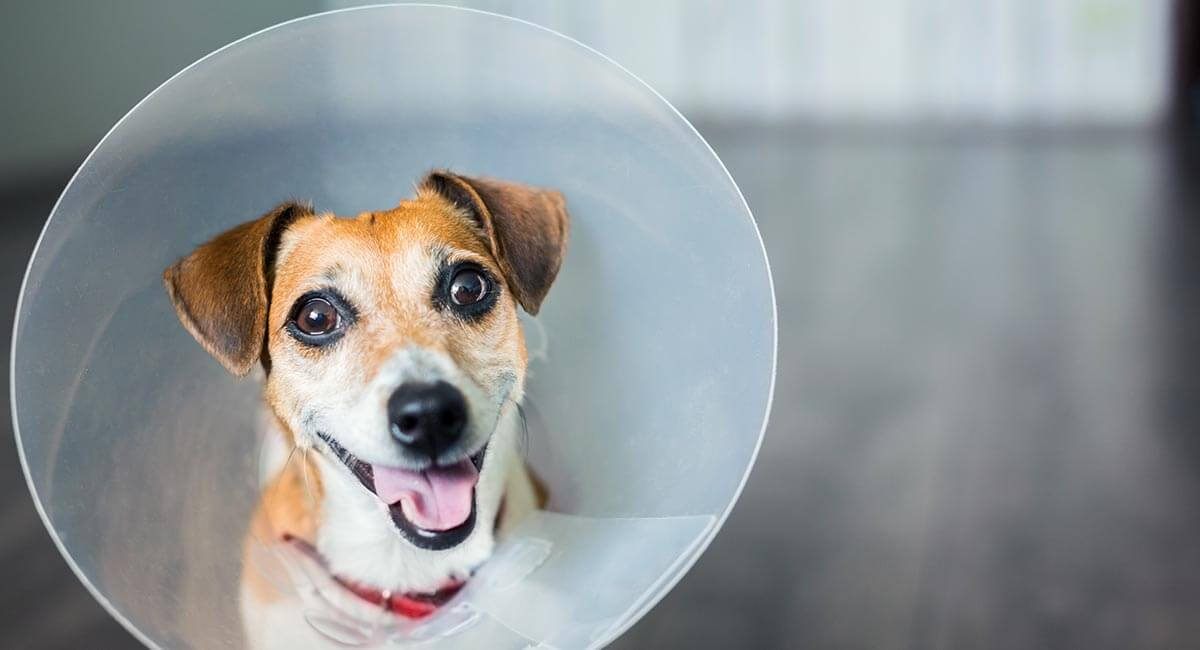 When To Take Cone off Dog after Neuter [How Long should it Be Left on him]