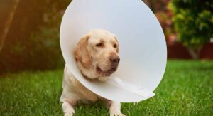 How Long Does a Dog Need to Wear a Cone After Being Spayed?