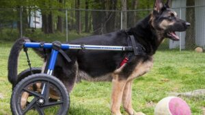 When to Euthanize a Dog with Degenerative Myelopathy?