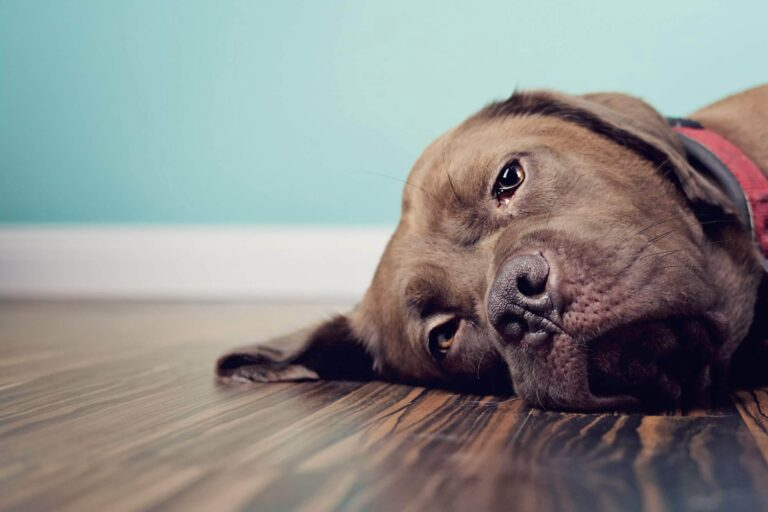 When to Euthanize a Dog with Kidney Failure?