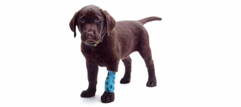 When to Euthanize a Dog with Torn ACL