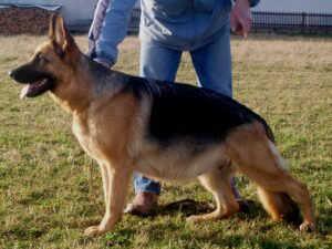 How Many Times Can a German Shepherd Get Pregnant and Give Birth in a Year?