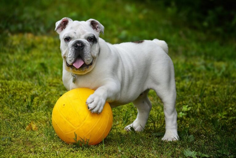 How Far Should You Walk an English Bulldog Each Day?