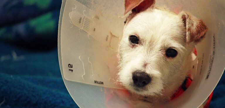 How to Encourage Dog to Urinate After Surgery
