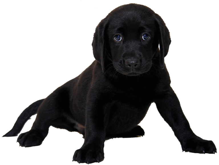 When Do Labrador Puppies Lose Their Teeth?