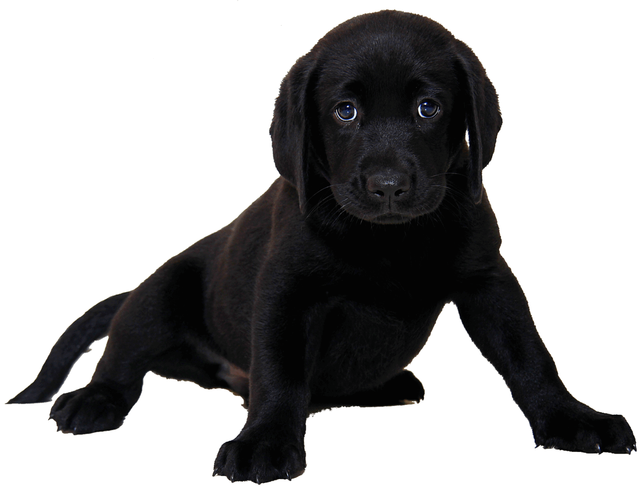 When Do Labrador Puppies Lose Their Teeth?