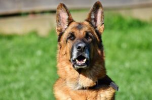 When Should I Get My German Shepherd Spayed? Some Pros and Cons